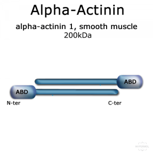 Alpha-Actinin (turkey gizzard smooth muscle) - 2x100 µg