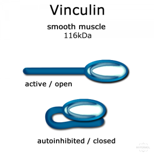 Vinculin tail (smooth muscle, turkey) - 50µg