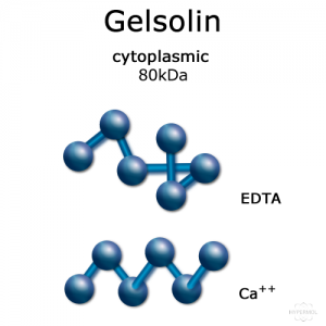 Gelsolin (cytoplasmic) - 2x50 µg