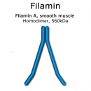 Filamin (smooth muscle, turkey) - 1.0 mg