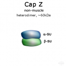 CapZ (non-muscle, human recombinant) - 2x50 µg
